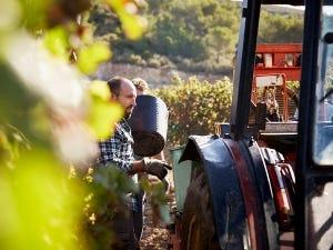 Vignerons récoltant le raisin dans un vignoble