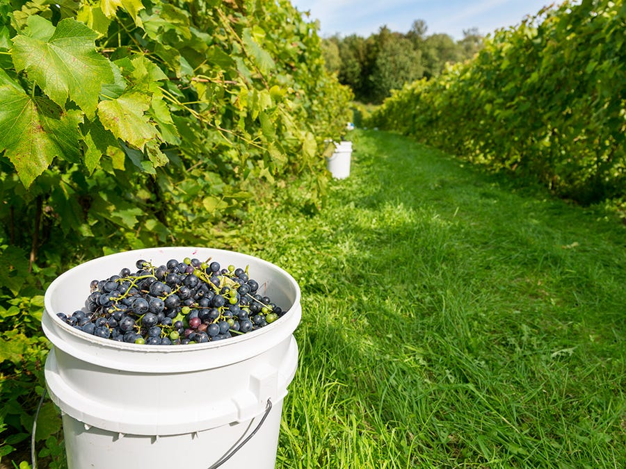 A guide to red varietals grown in Quebec