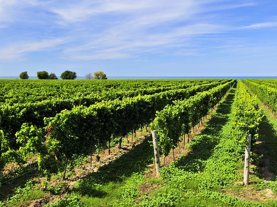 Vignoble de la péninsule du Niagara