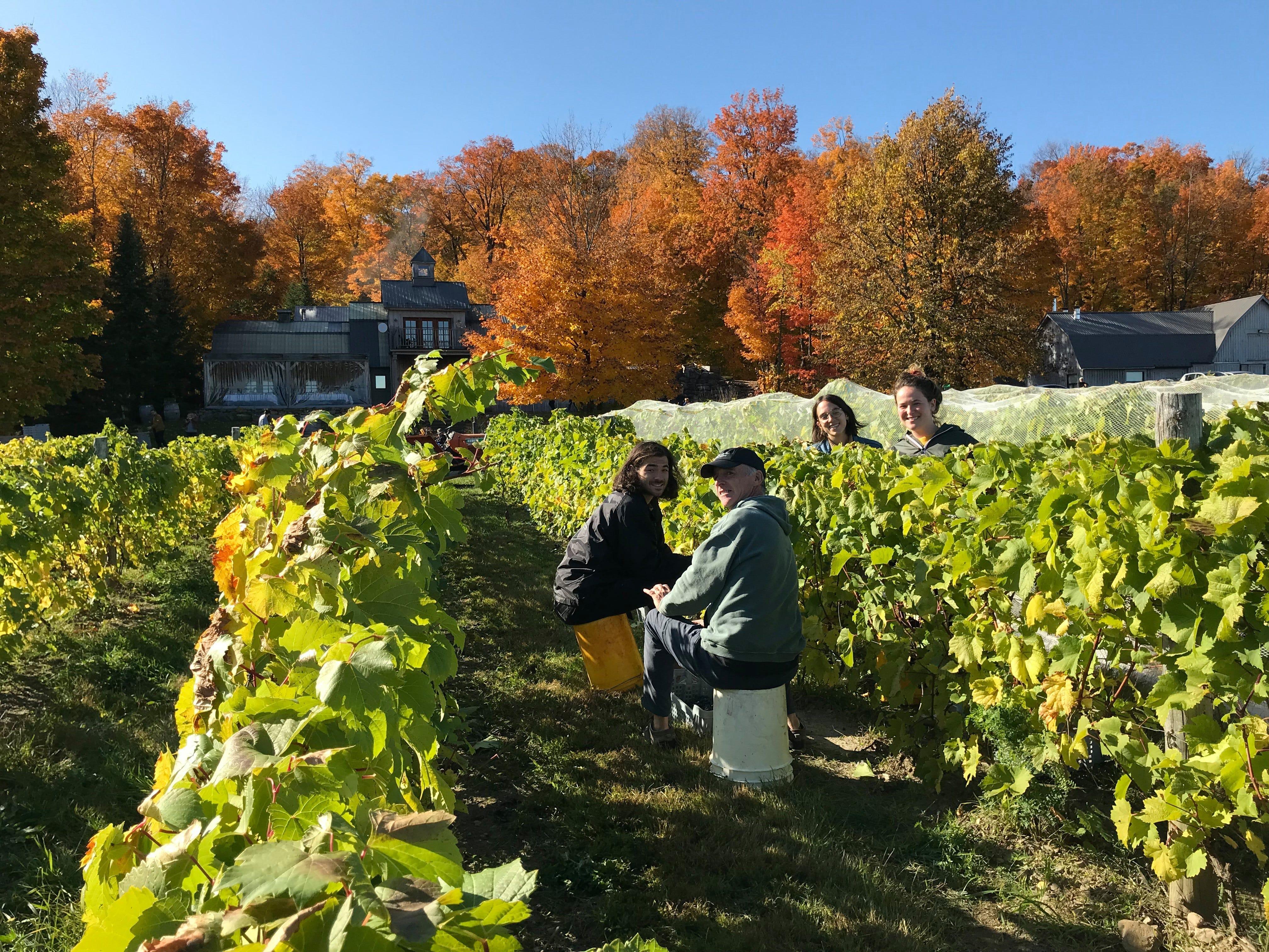 grape harvest, quebec, wine, vineyard