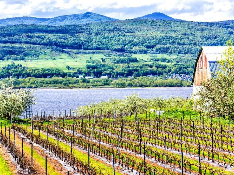 Paysage représentant un vignoble québécois.