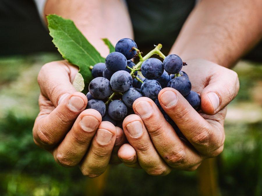Deux mains tenant une grappe de raisins