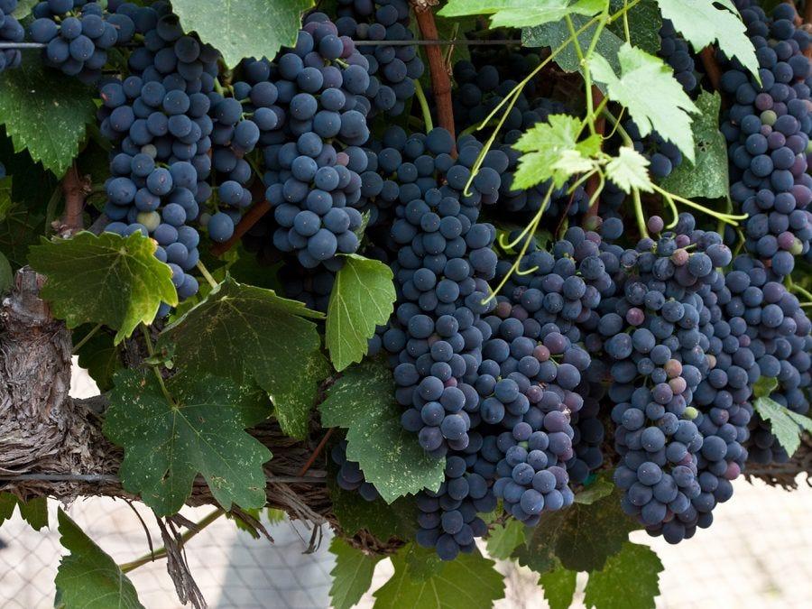Grappes de raisin bleu