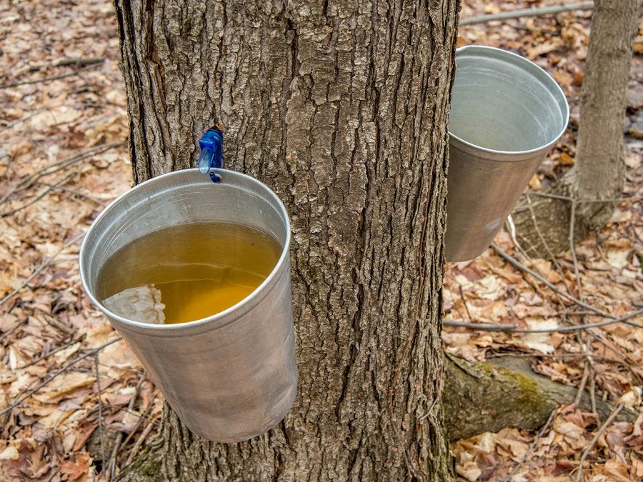 Bucket of maple water