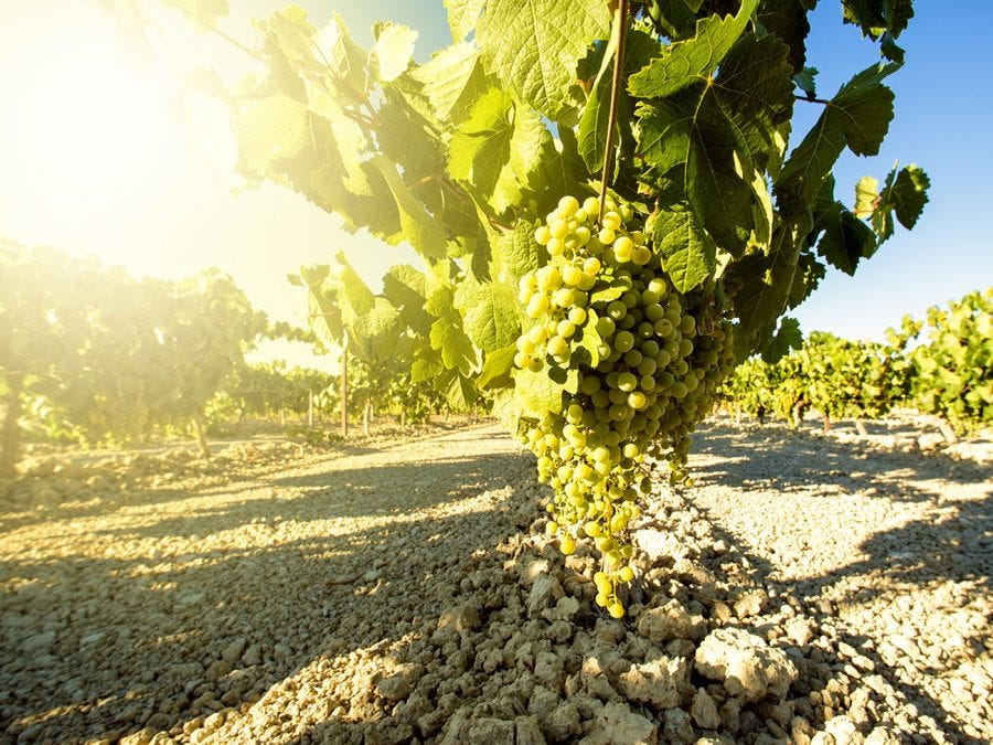 White grapes for wine