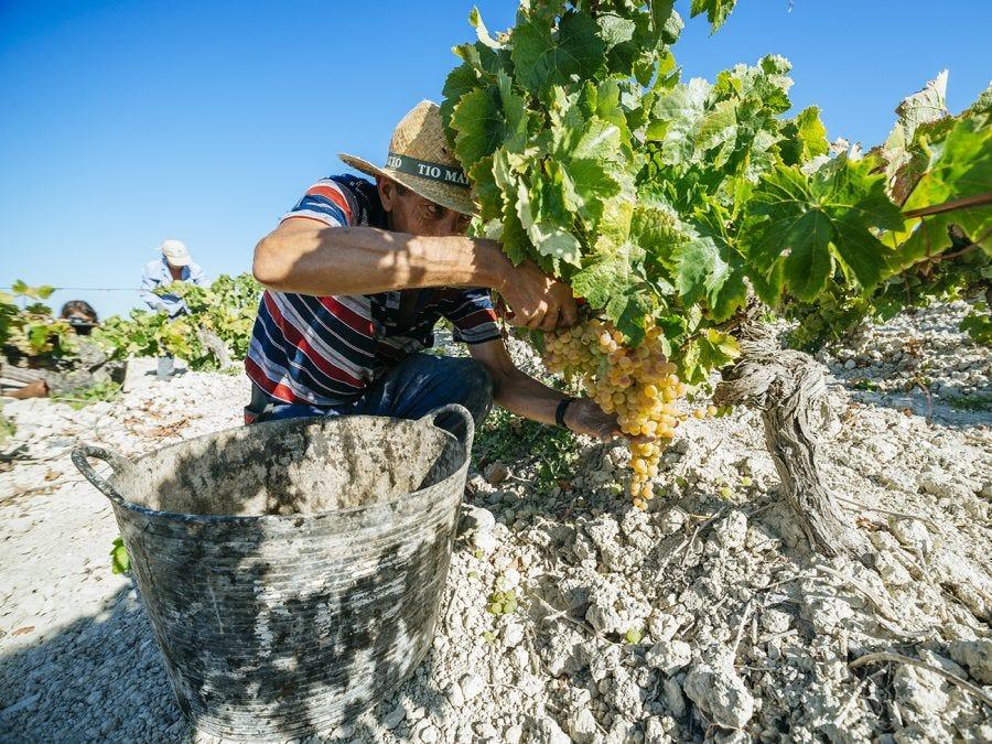 Cueilleur en train de couper une grappe de raisin blanc