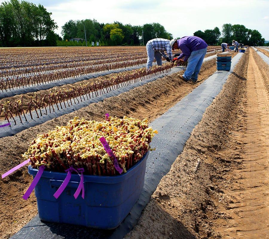 Vignoble, travailleurs saisonniers