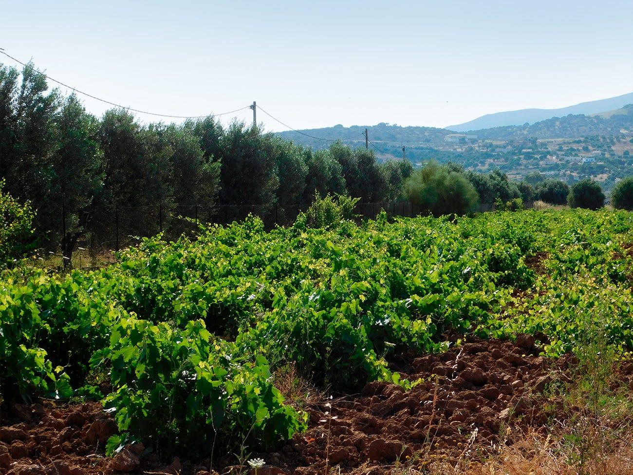 Vignoble en Grèce
