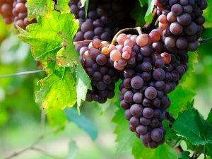 technique used to make white wine