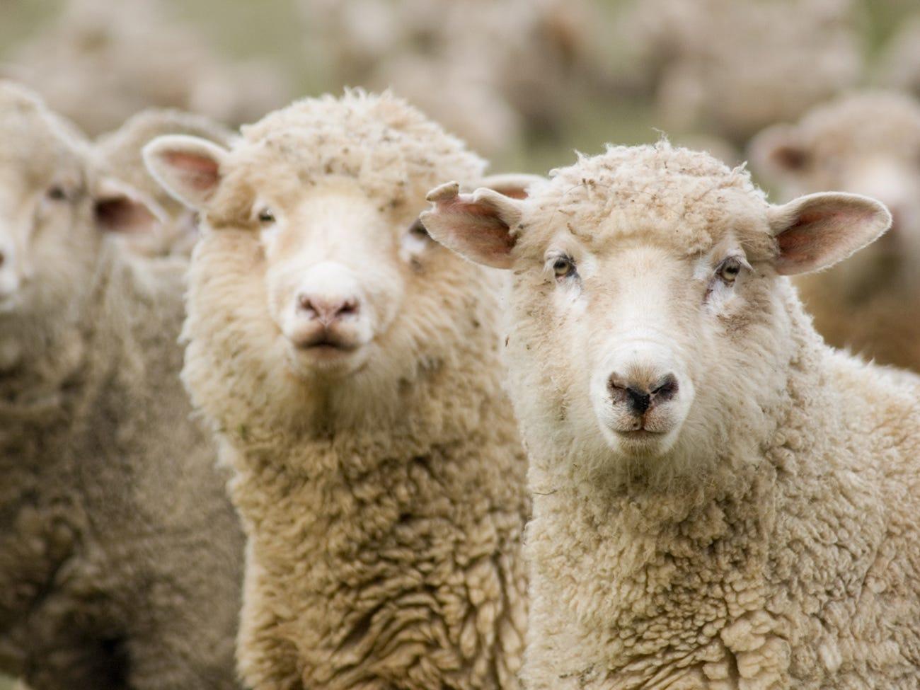 Troupeau de moutons au vignoble de Parés Baltà